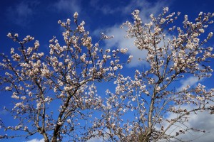 Andalusian Almond Blossom