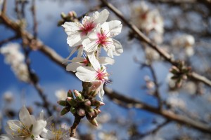 Almond Blossom Andalusia