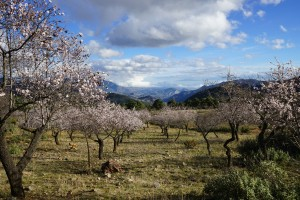 Almond Trees Andalusia